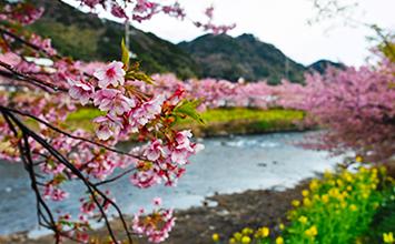 河津桜まつり周辺