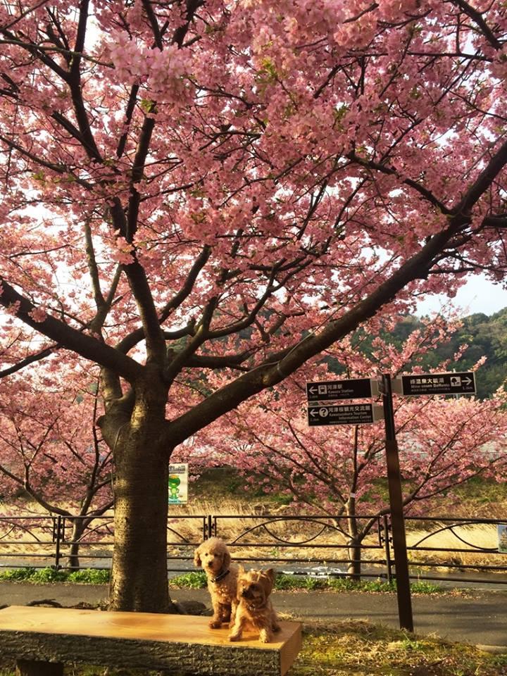 河津桜まつりのご予約を開始致しました