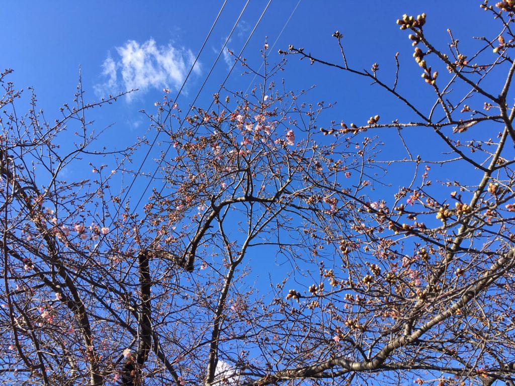 河津桜まつり開催2日前になりました